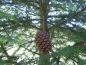 Preview: Pinecone